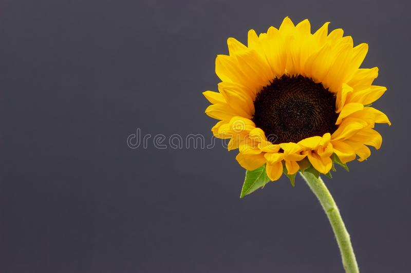 Helianthus, decorative sunflower flower on a dark background floral background stock images