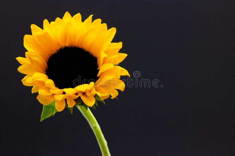 Helianthus, decorative sunflower flower on a dark background floral background royalty free stock photography