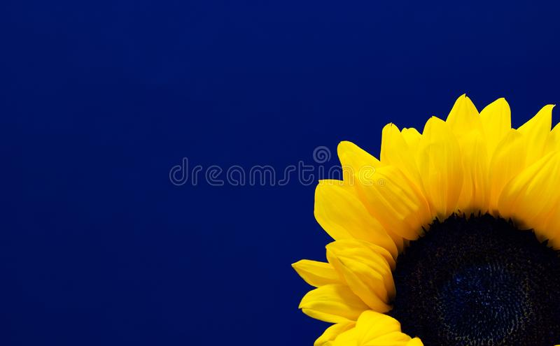 Helianthus, decorative sunflower flower on a dark background floral background royalty free stock image
