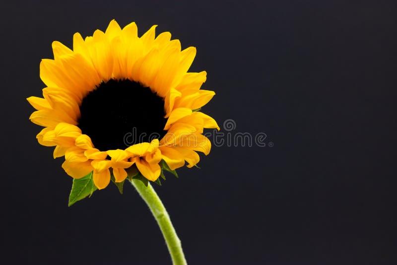 Helianthus, dekoracyjny słonecznikowy kwiat na ciemnego tła kwiecistym tle fotografia royalty free