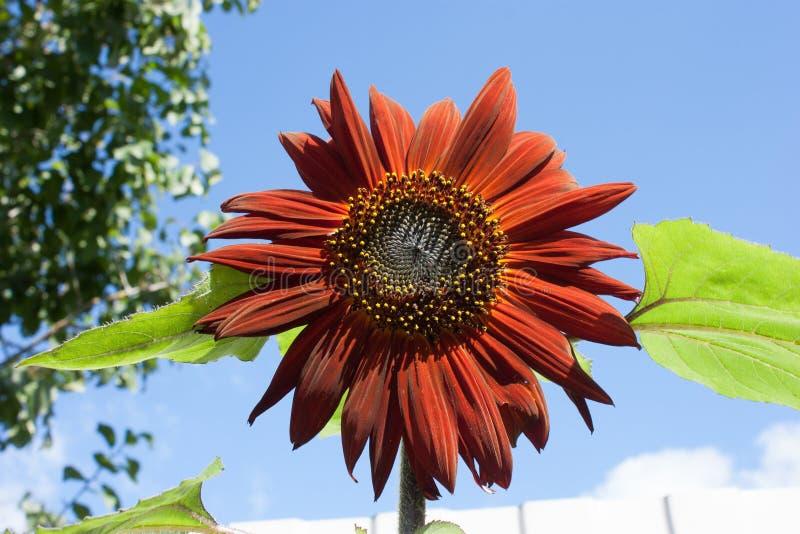 Подсолнечник цветок подсолнечника с зелеными листьями против неба. royalty free stock image