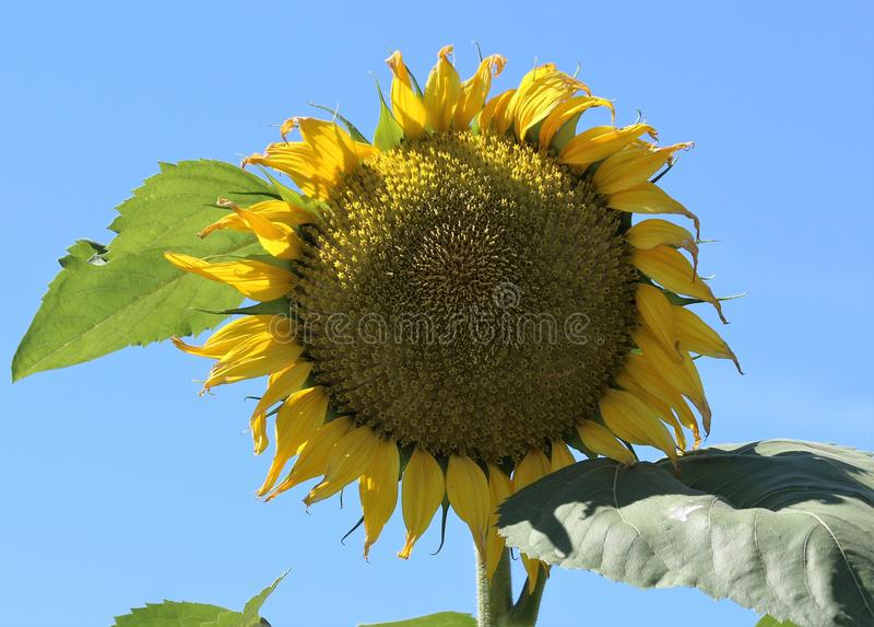 Helianthus słoneczniki obraz royalty free