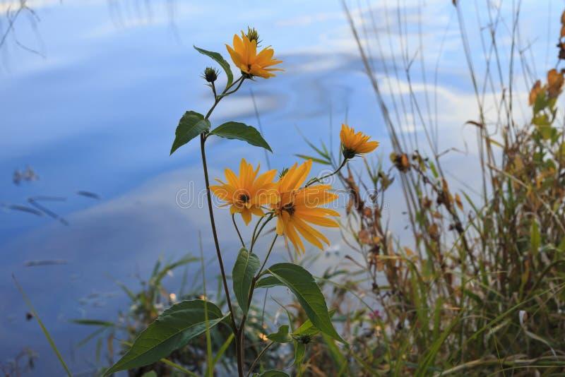 Helianthus tuberosu topinambour. Jerusalem artichoke Flower or sunroot sunchoke earth apple topinambour. Flower at pond in autumn stock photos