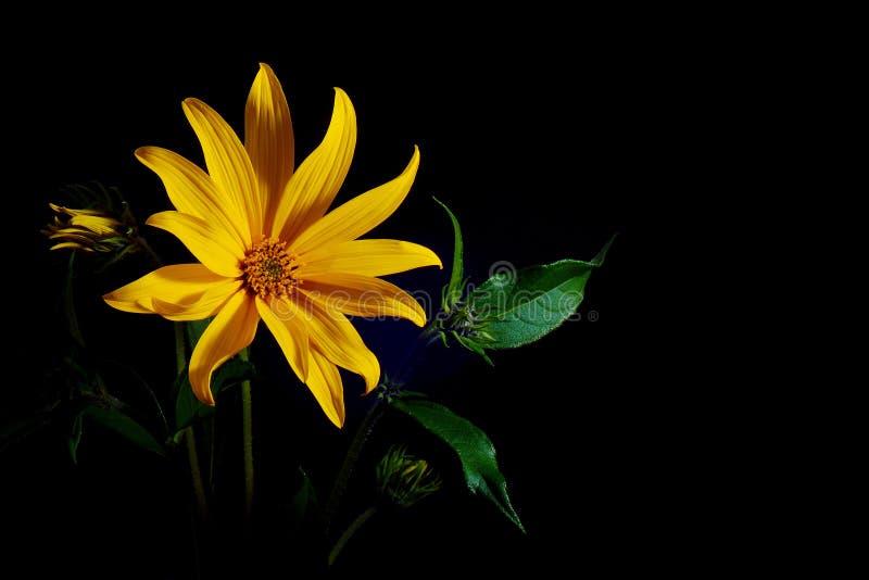 Helianthus tuberosus del fiore del topinambur immagine stock