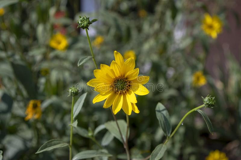 Helianthus tuberosus high garden flowers in bloom, root vegetable flowering plant with yellow petals. And green leaves stock image