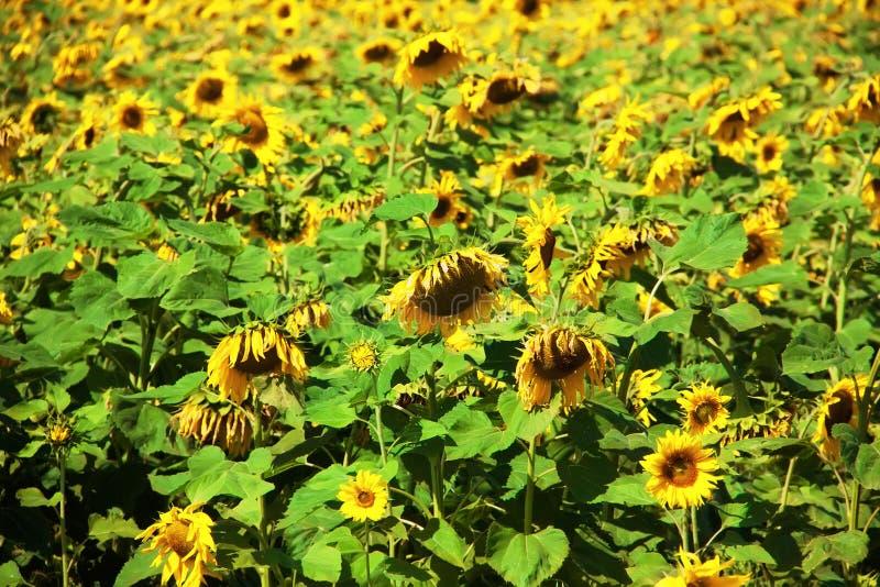 Helianthusannuus, de gemeenschappelijke zonnebloem Het gebied van de zonnebloem De achtergrond van de aard royalty-vrije stock afbeeldingen