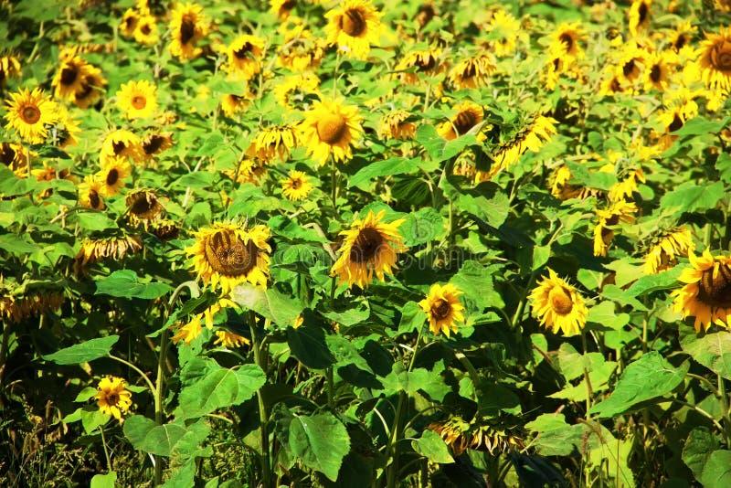 Helianthusannuus, de gemeenschappelijke zonnebloem Het gebied van de zonnebloem De achtergrond van de aard royalty-vrije stock foto's