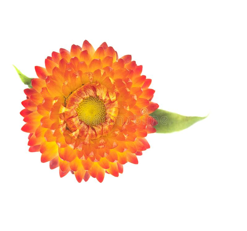 Helichrysum стоковая фотография rf