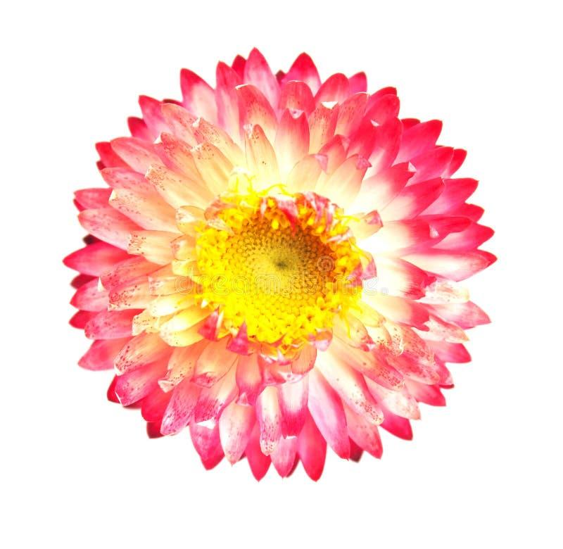Helichrysum стоковые изображения rf