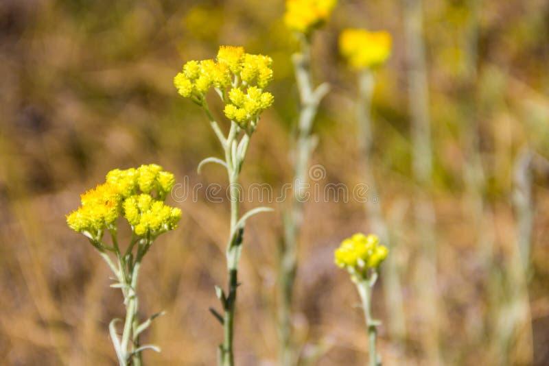 Helichrysum arenarium auf Wiese lizenzfreie stockfotografie
