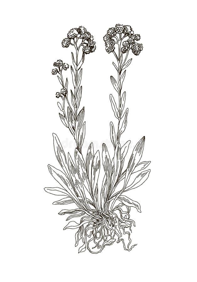 helichrysum arenarium  handdrawn illustration  health and