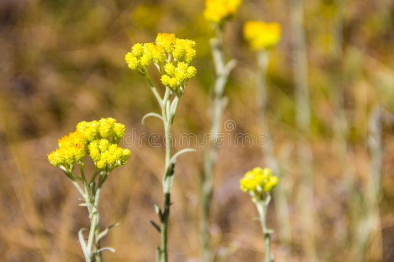 Helichrysum arenarium on meadow royalty free stock photography