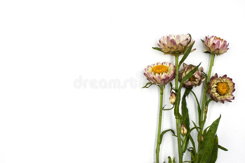 Helichrysum bracteatum blooming the beautiful flowers isolated on white background stock image