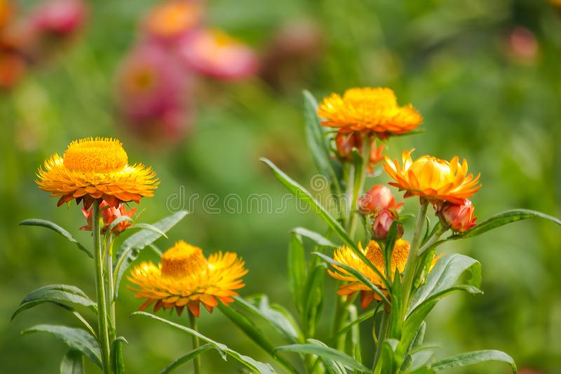 Helichrysum bracteatum is a flower that can last for a long time. Native to Australia stock image
