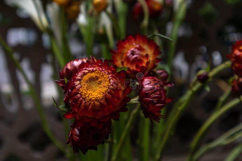 Helichrysum bracteatum-verse snijbloemen stock afbeeldingen