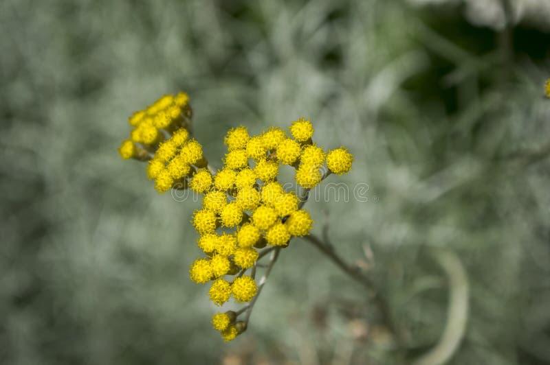 Helichrysum italicum in der Blüte, gerundete gelbe Gruppe kleine Blumen stockfotos