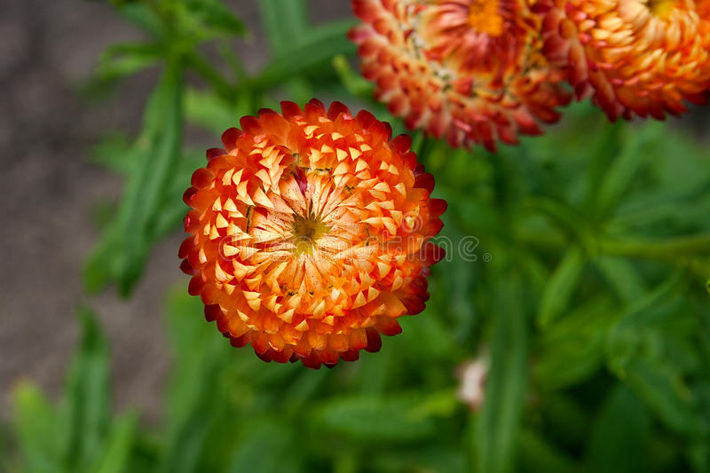 Helichrysum paper daisy straw flower stock photo image of paper download helichrysum paper daisy straw flower stock photo image of paper pretty mightylinksfo