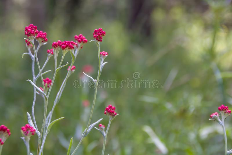 Helichrysum sanguineum - aka Red Everlasting flowers, Red cud-weed. Blooms at late spring in the Mediterranean region, The Judean mountains, Israel royalty free stock photo