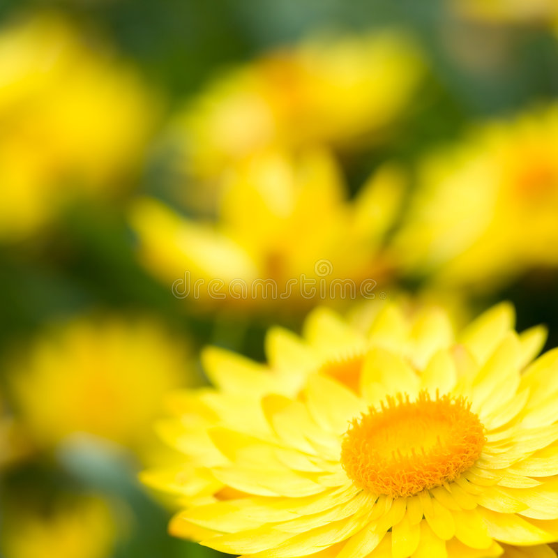 Helichrysum-?Sonnenschein? Blumen lizenzfreie stockbilder