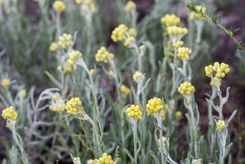 Helichrysumarenarium, dvärg- everlast, gula blommor för immortelle royaltyfria bilder