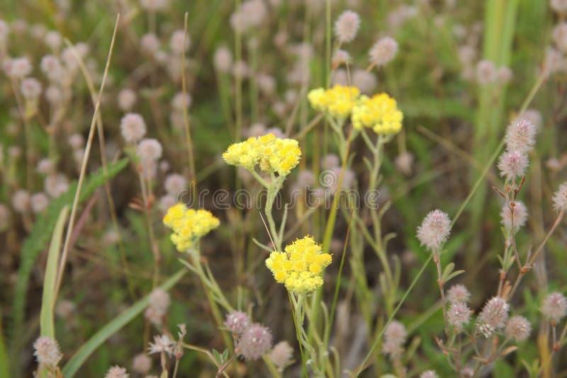Helichrysumarenarium, dvärg- everlast, gula blommor för immortelle arkivfoton