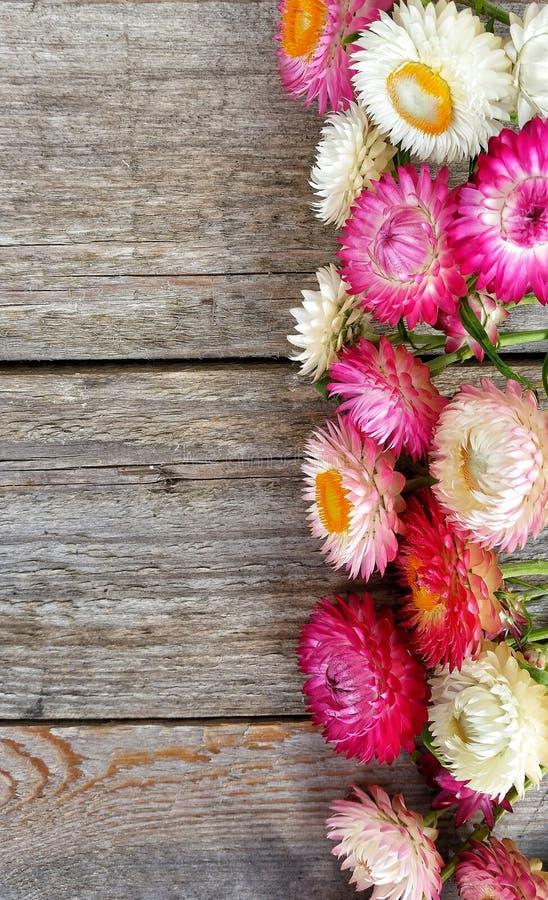 Helichrysumen blommar wood träbakgrundsrosa färger royaltyfria bilder
