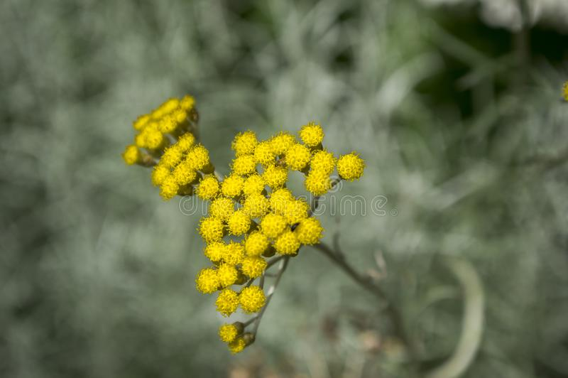 Helichrysumitalicum in bloei, rond gemaakte gele groep kleine bloemen stock foto's