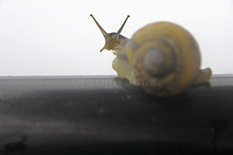 Helicidae, caracol romano fotos de archivo