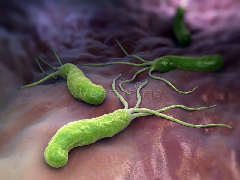 Helicobacter pylori royaltyfri illustrationer
