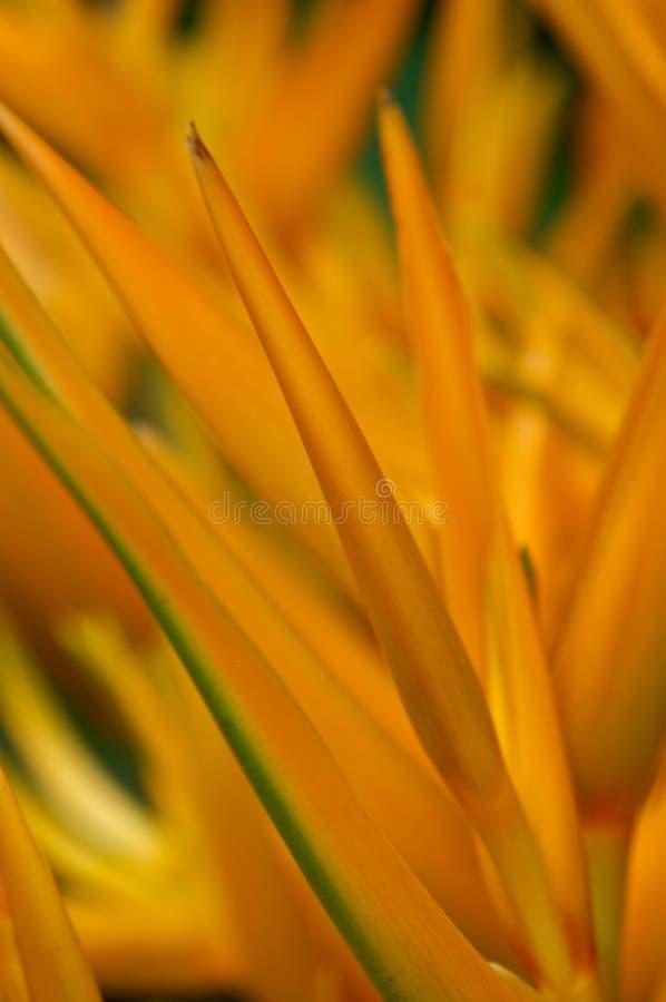 heliconia桔子 库存照片