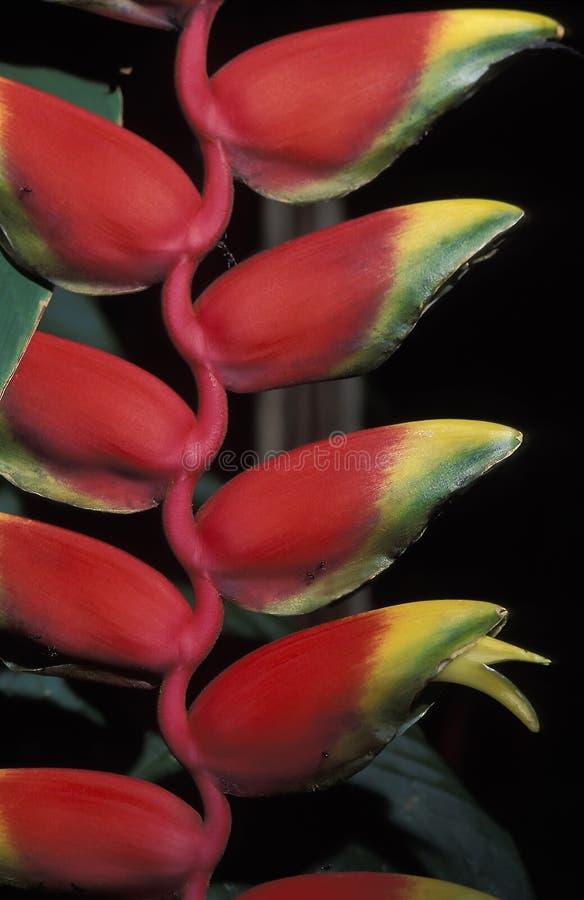 Heliconia, Тринидад стоковое фото rf