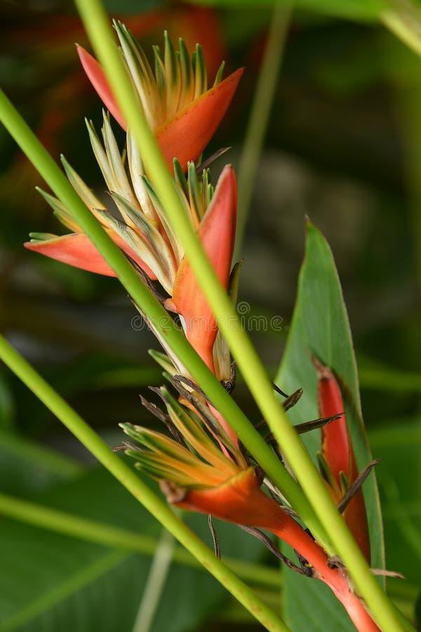 Heliconia stockbild