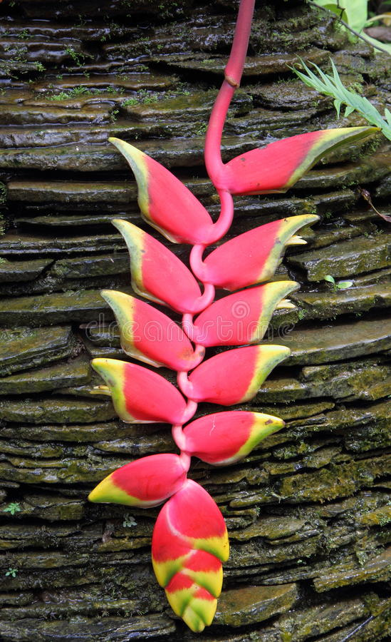 Download Heliconia stock image. Image of florist, decoration, detail - 24981059