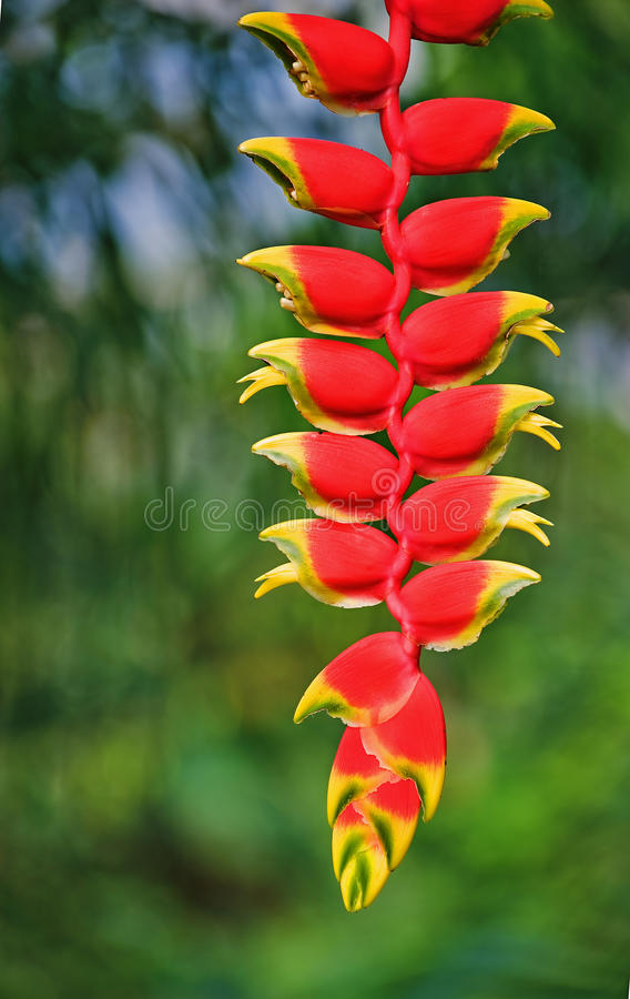 Free Heliconia Stock Photography - 41325682