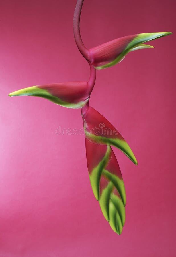 Heliconia stockfotografie