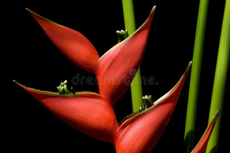 heliconia стоковое фото