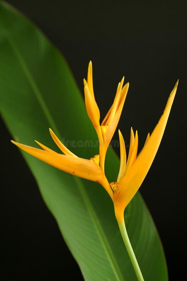 Heliconia amarelo fotografia de stock