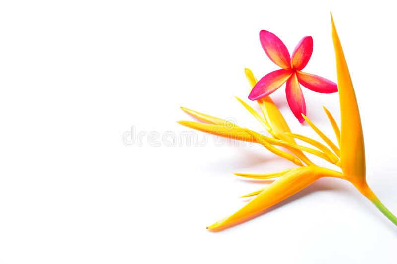 Heliconia amarillo con plumeria rojo imagen de archivo libre de regalías