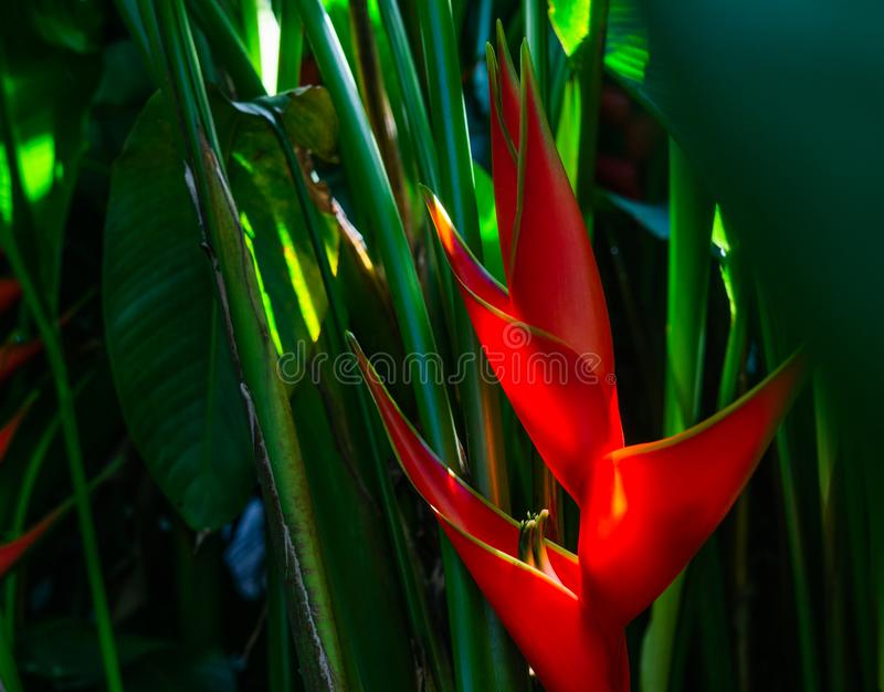 Heliconia bihai & x28;Red palulu& x29; flower. Beautiful Tropical flowers stock photography