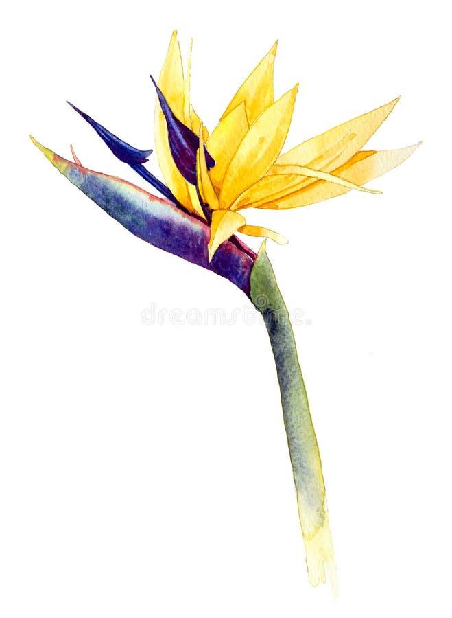 Heliconia_bird of paradise royalty free illustration