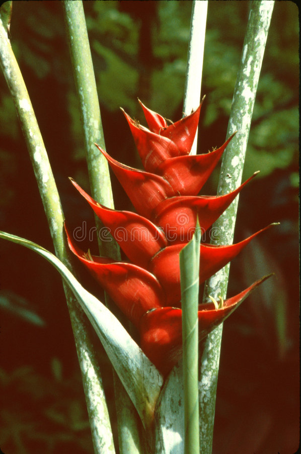 Heliconia Caribæa stock foto
