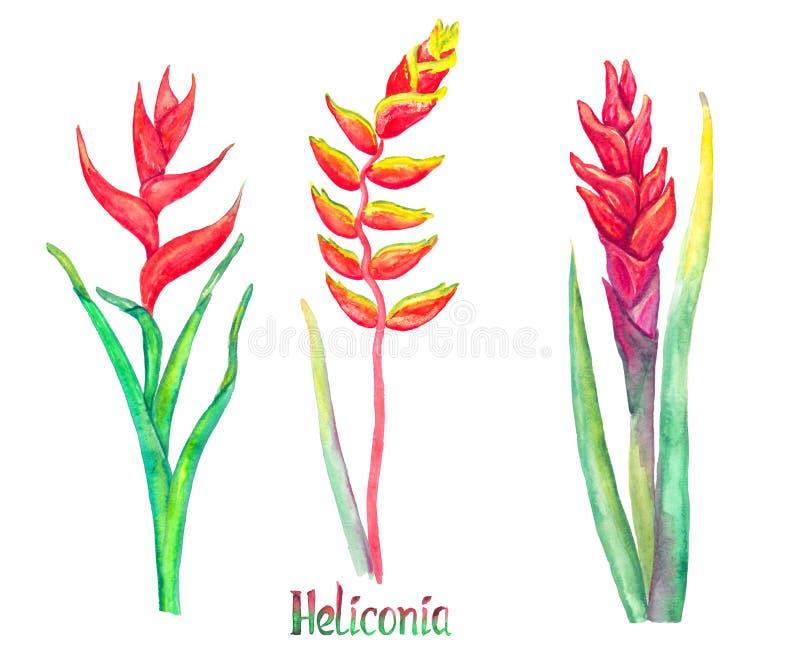 Heliconia-caribaea, rote Formen und Heliconia-rostrata hängender Hummergreifer, falscher Paradiesvogel lokalisiert auf weißem han lizenzfreie abbildung