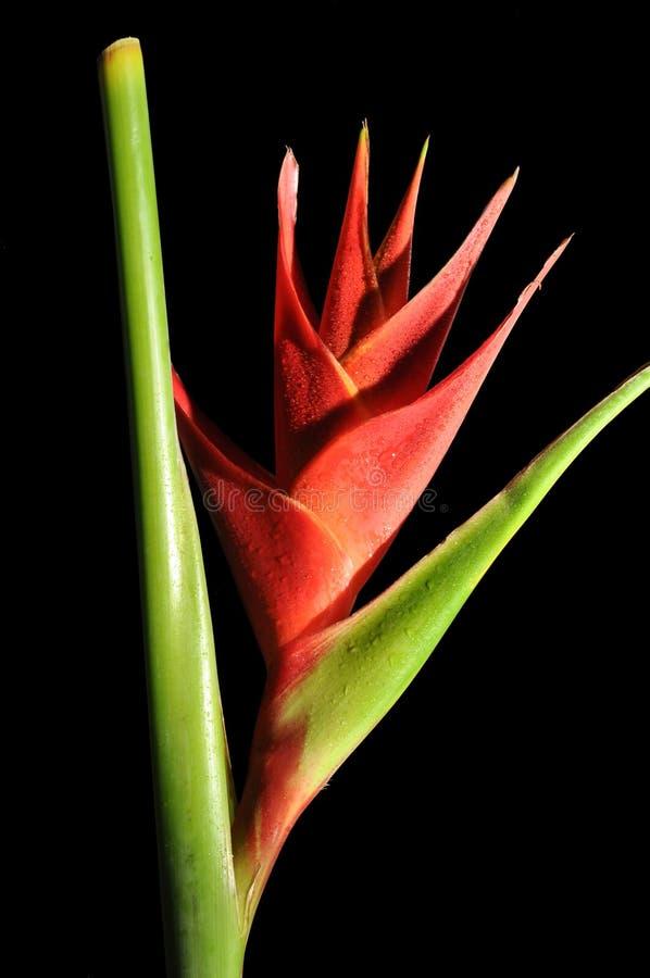 Heliconia Caribea stockbild
