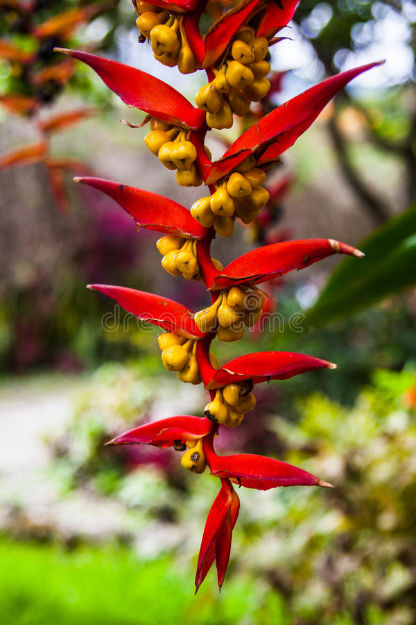 Heliconia collinsiana. Var collinsiana, a pendent heliconia in fruit from Ecuador stock image