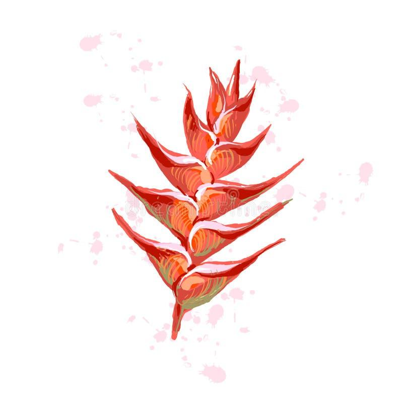 Heliconia fleurit le plantain sauvage, griffe de homard, fleur fausse d'oiseau-de-paradis, rostrata de Heliconia Vecteur tiré par illustration libre de droits