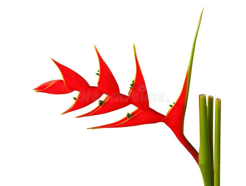 Heliconia flowe. stock photo