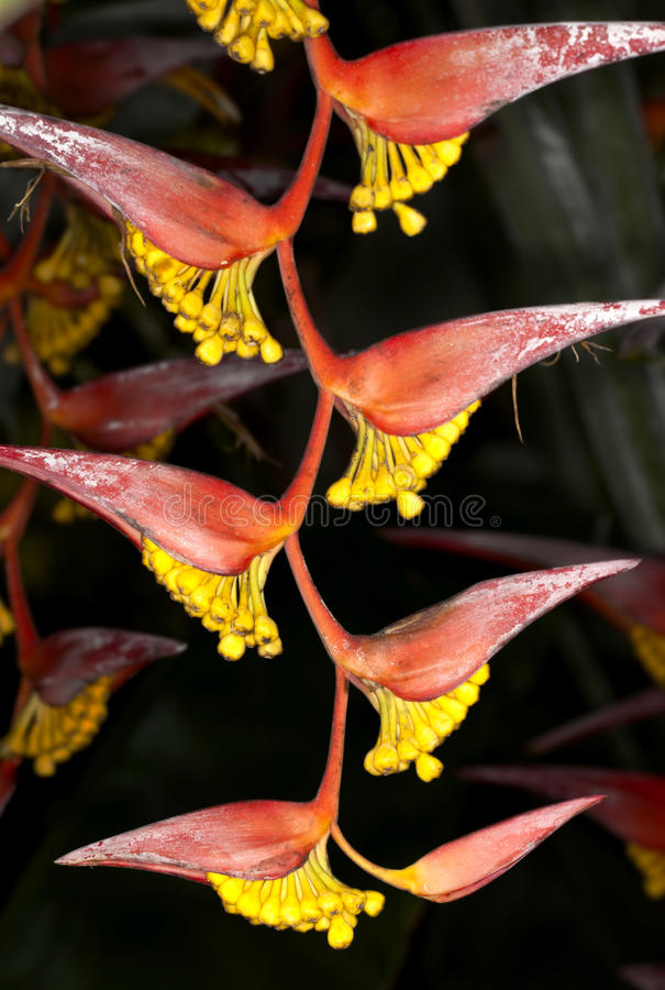Download Heliconia Flower stock image. Image of garden, flower - 18306731