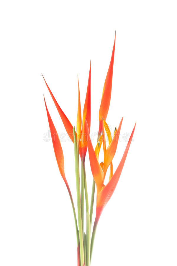 Download Heliconia Flower Stock Photo - Image: 27245080