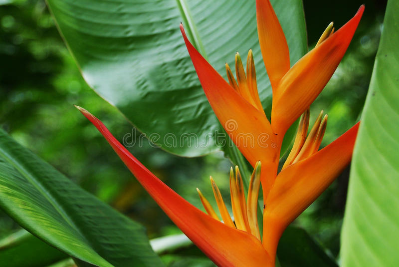 Download Heliconia flower stock image. Image of exotic, false - 27386519