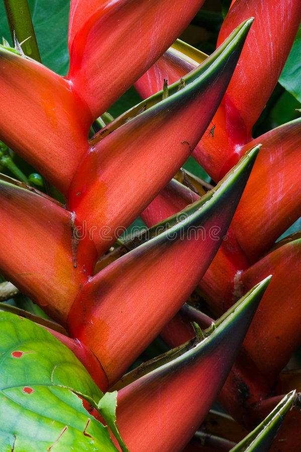 Download Heliconia flowers stock photo. Image of wild, macro, tropical - 7258842